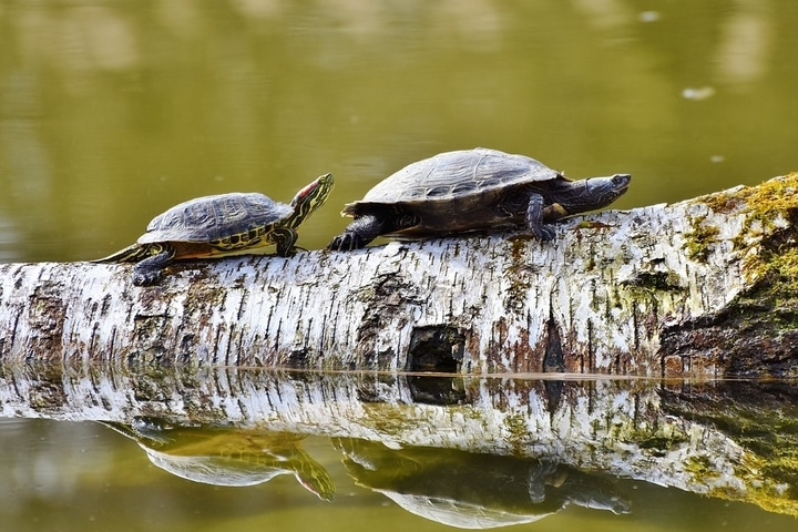 Two tortoise on a log that's partially submerged in water